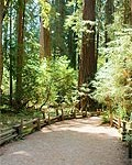 redwood-path